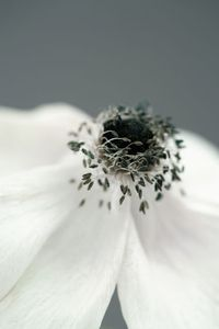 Dying Anemone