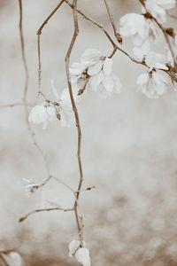 Elm Blossoms, Woodside, California