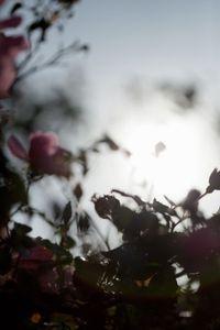 Pink Rose Bush, La Selva Beach, California