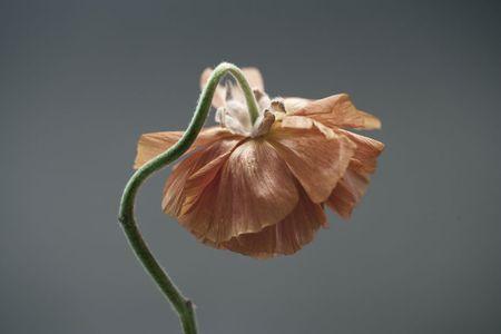 Dying Ranunculus