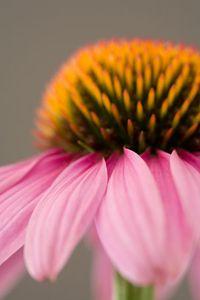 Coneflower/Echinacea