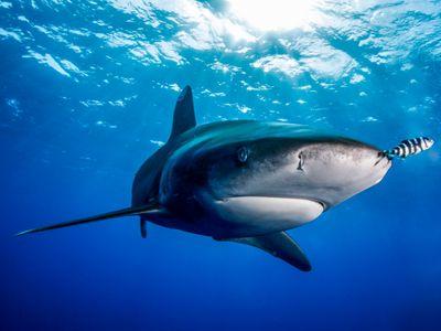 (70x50)Requin Longimanus Egypte.jpg