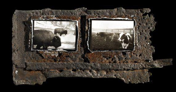 1buffalo_cow