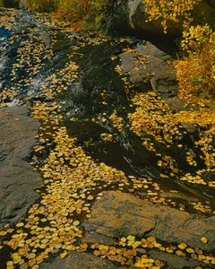 Aspen Leaves On Streambed, Fall, Rocky Mountain National Park, Colorado