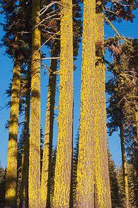 Lichen On Douglas Firs On Grizzly Ridge Near Rhinehart Meadows, Plumas National Forest, Northern Sierra Nevada, California, copyright 2011 David Leland Hyde.