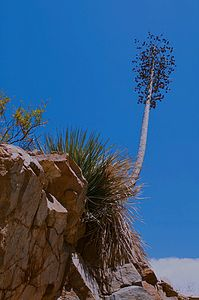 Yucca Plant Bloom, Kings Canyon National Park, Sierra, California, copyright 2009 David Leland Hyde.