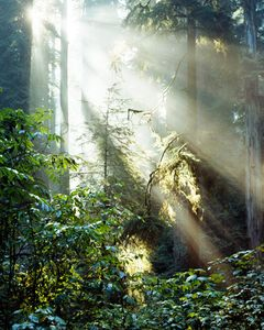 Sun Through Giant Forest, Del Norte Coast Redwoods State Park, California