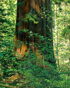 Sequoia, Dogwood, Tuolumne Grove, Yosemite National Park, California