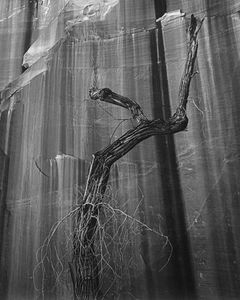 Dead Cottonwood Against Wall Of Willow Canyon, Glen Canyon, Utah, 1964