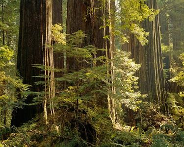 Mill Creek Giants, Jedidiah Smith Redwoods State Park, California