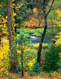 Riffle Through Woods, Indian Creek, Northern Sierra Nevada, California (Vertical)