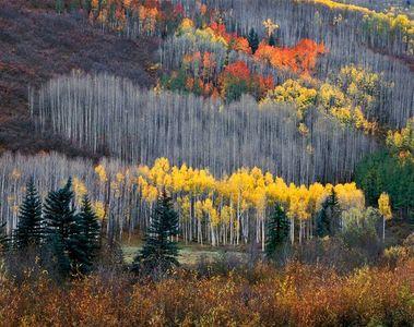 Aspens, Dolores River Canyon, San Juan Rockies, Colorado