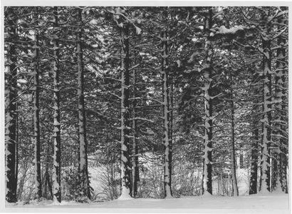 Ponderosa Pines In Snow, Lake Almanor, California.