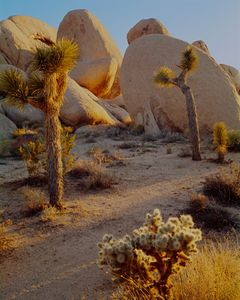 Joshua Trees, Cholla and Granite Boulders, Joshua Tree National Park, Mojave Desert, California