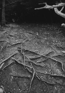 Roots, Path Into Woods, Point Lobos State Reserve, California