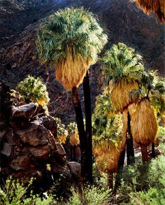Palms In Borrego Palm Canyon, Anza-Borrego Desert State Park, California