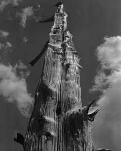 Bleached Juniper Trunk On Ridge Above Parson's Lodge, Clouds, Tuolumne Meadows, Yosemite National Park, Sierra Nevada, California.