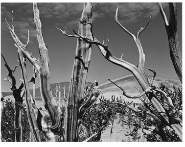 Ancient Bristlecone Forest, White Mountains, California, 1967.