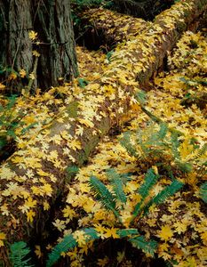 Maple Leaves On Fallen Logs, Redwood National Park, California