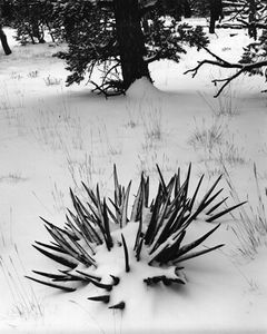 Yucca In Snow, Forest On South Rim, Winter, Grand Canyon National Park, Arizona.