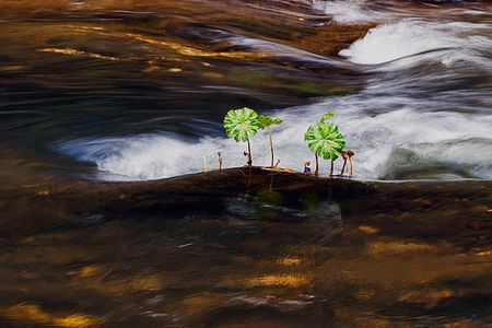 Indian Rhubarb Shoots, Spanish Creek Near Quincy, Plumas County, Northern Sierra Nevada, California, copyright 2013 David Leland Hyde.
