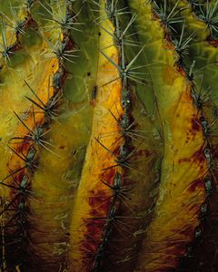 Cardon Cactus Detail, Baja California, Mexico