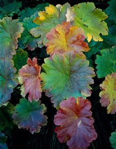 Indian Rhubarb, Northern Sierra Nevada, California (Vertical)