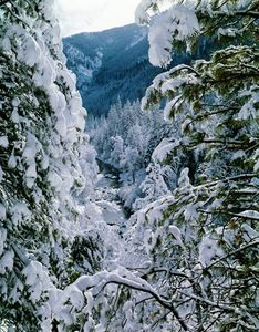 Pines, Mormon Canyon, Winter, Northern Sierra Nevada, California