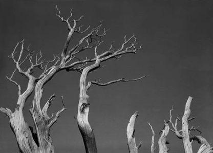 Weathered White Bark Pine, Sierra Nevada, Yosemite National Park, California, 1950