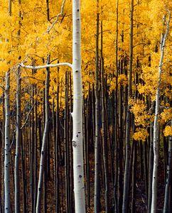 Aspens, San Miguel River, Rocky Mountains Colorado