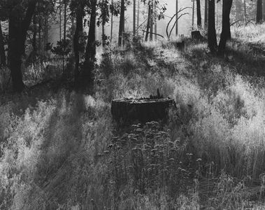 Stump In Backyard Near Greenville, California, 1948.