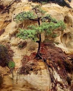 Torrey Pine On Cliff
