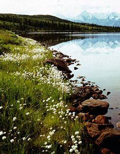 Mt. Brooks, Shore Of Wonder Lake, Cotton Grass, Alaska Range, Denali National Park, Alaska