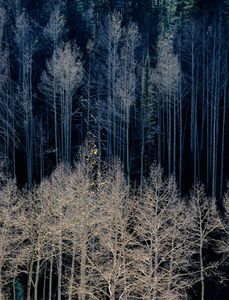 Aspens, North Rim, Grand Canyon National Park, Arizona