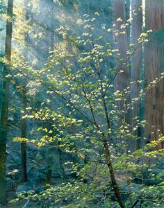 Dogwood, Sequoia National Park, Sierra Nevada, California