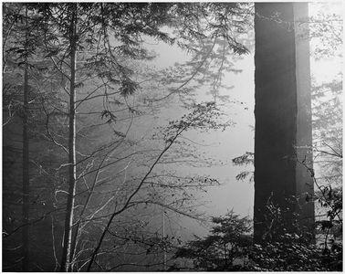 Alder, Redwoods, Fog, Prairie Creek Redwoods State Park, California