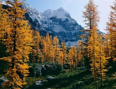 Opabin Peak, Larches, Yoho National Park, Canada