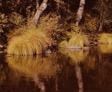 Tussock Grass And Black Oaks Along Indian Creek, Northern Sierra Nevada, California.