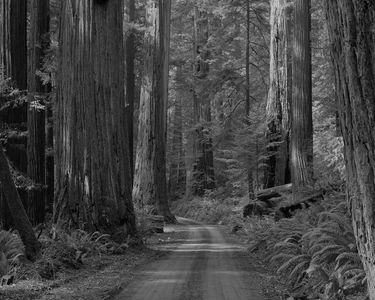 Mill Creek Road, Prairie Creek Redwoods State Park, California, 1962.