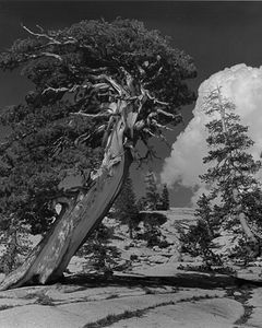 Leaning Juniper Tree, Cathedral Range, Yosemite National Park High Country, Sierra Nevada, California.