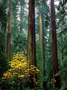 Founder's Grove, Humboldt Redwoods State Park, California
