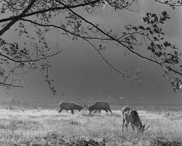 Roosevelt Elk, Prairie Creek Redwoods State Park, California, 1963.