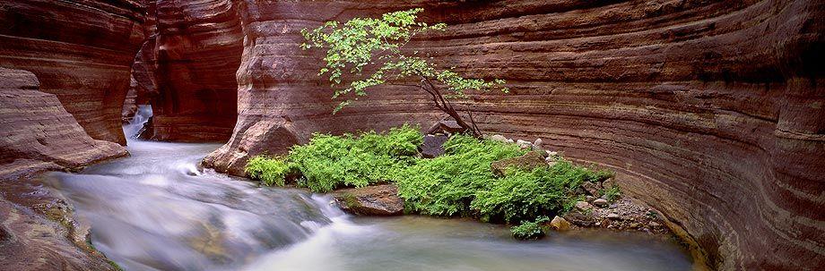 Redbud Tree, Grand Canyon NP
