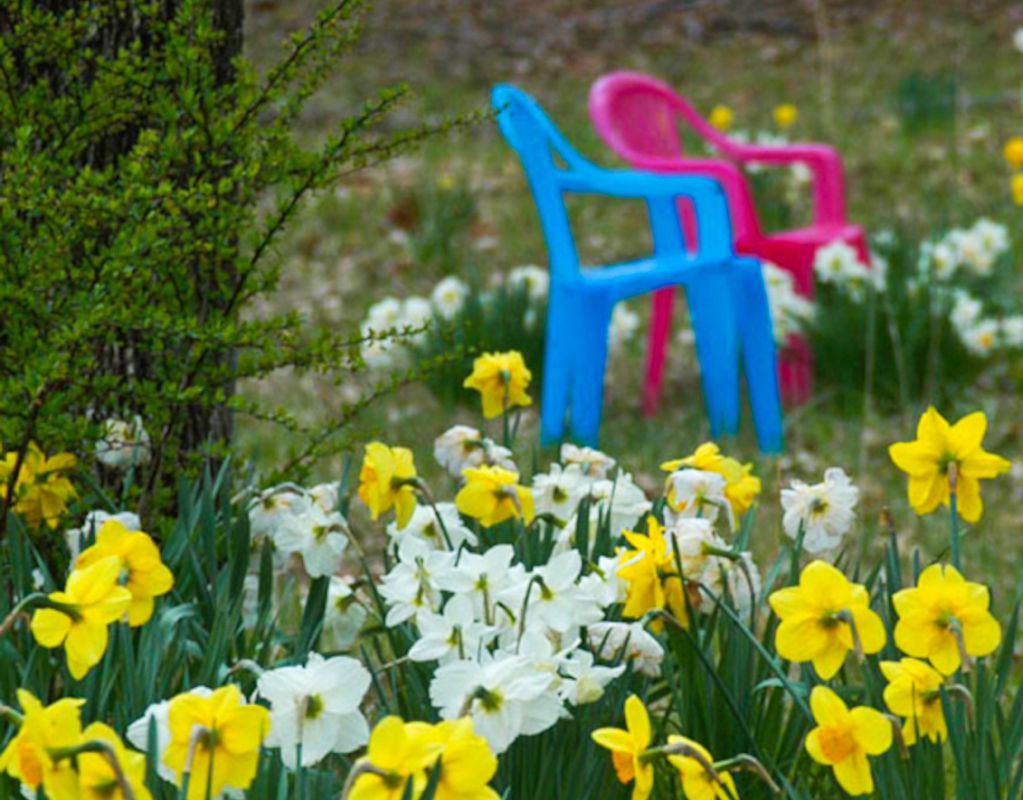 Daffodils and plastic chairs