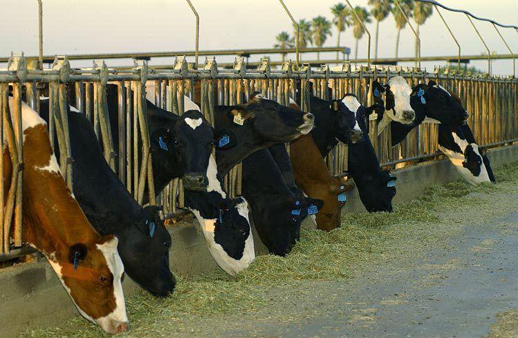 VanLeeuwen Dairy Farms / Chino Valley, CA