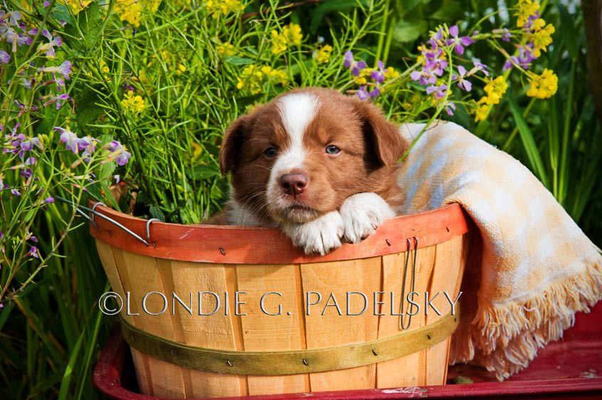 1003_dog_0094_londie_padelskyAustralian Shepherd puppy, San Luis Obispo, California