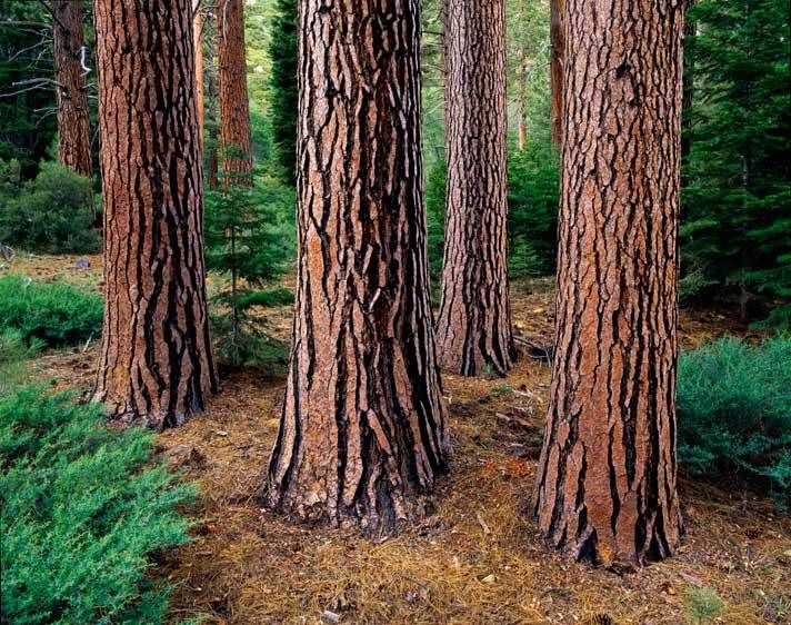 SN-4307_Londie-G_PadelskyPonderosa Pine, Sierra Nevada, California