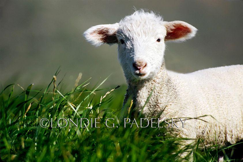 SLC-6678_Londie_G_PadelskyLittle lamb, San Luis Obispo, California
