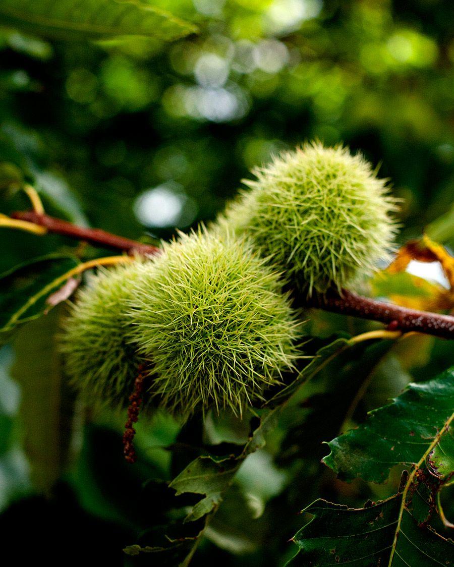 chestnut-shell.jpg