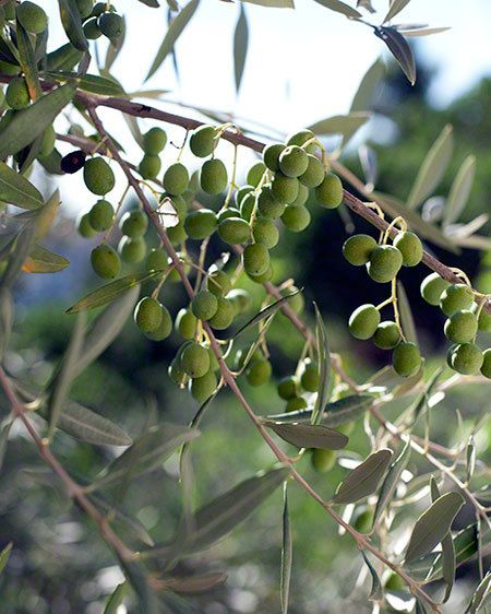 7_0_1olives_on_tree.jpg